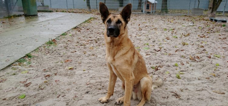 Malinois Mix Lex