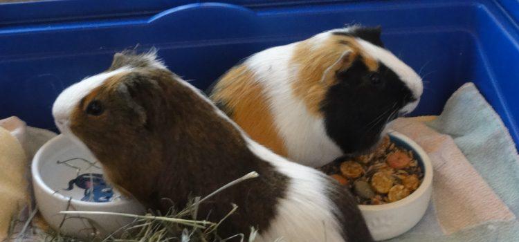 Meerschweinchen Bob und Charly [vermittelt]