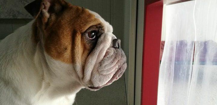 Englische Bulldogge Diana [vermittelt]