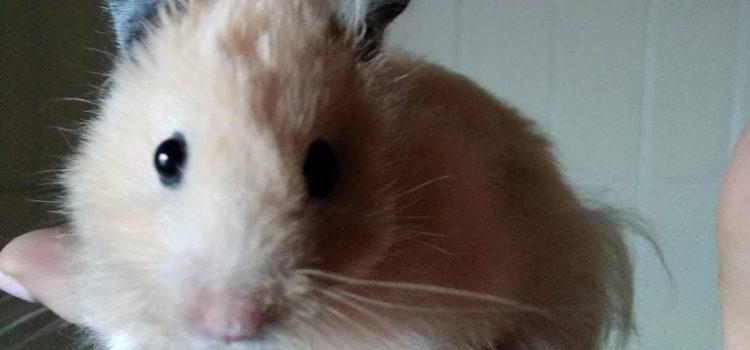 Hamster [vermittelt]