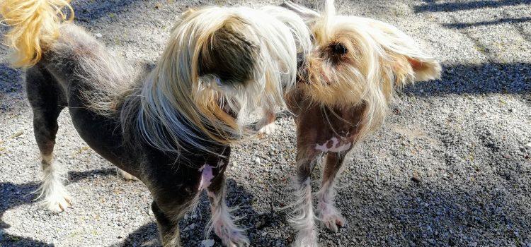 Chinesische Nackthunde Angelique und Gucci [vermittelt]