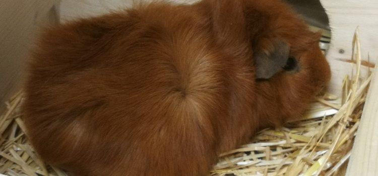 Meerschweinchen Brownie [vermittelt]
