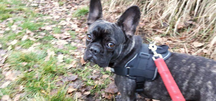 französische Bulldogge Lucy [vermittelt]