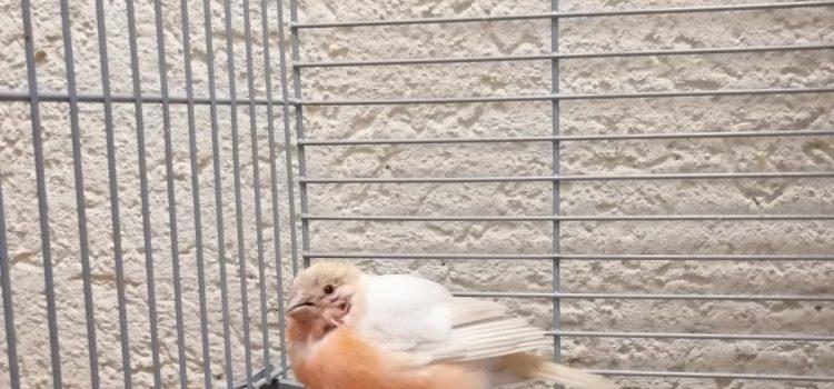 Nordischer Gimpel – Fundvogel Schwandorf [wieder Zuhause]
