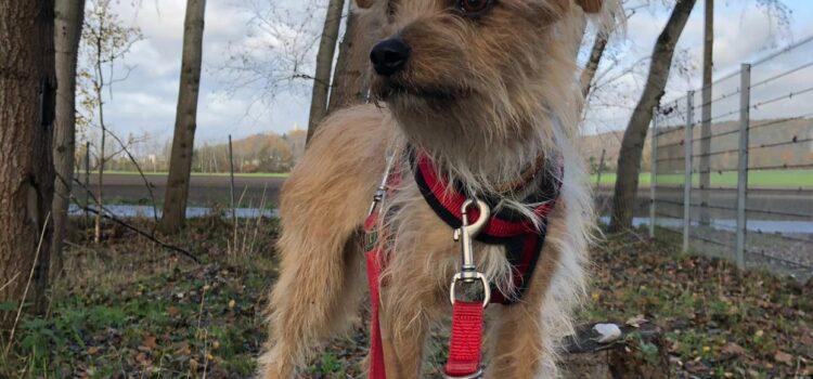 Terrier Mix Domenica [vermittelt 28.11.2020]
