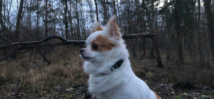 Chihuahua Monjita [vermittelt 16.01.2021]